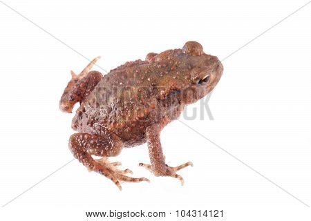 Toad Isolated On White.