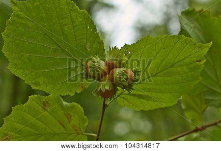Ripe Fruit  Corilus Avellana.