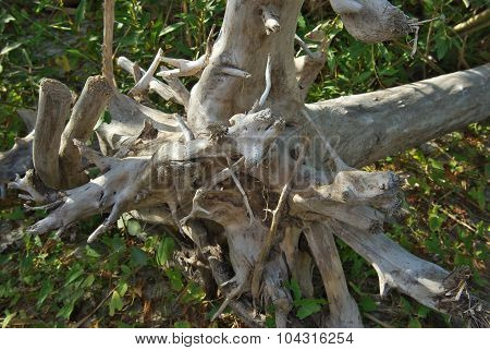 dry root in the forest
