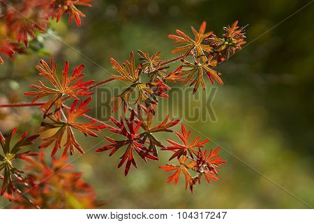 Meadow Geranium Leaves In The Forest.