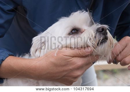 Combing Hairof White Maltese Dog