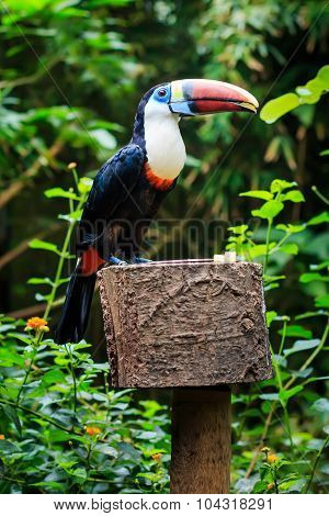 Single White-throated toucan ( tucan) bird sitting on a platform in natural surroundings