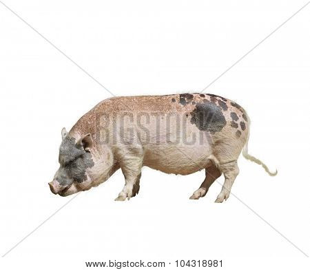 Farm Pink and Black Pig isolated on white background