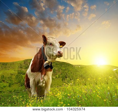 Cow on the meadow at sunset