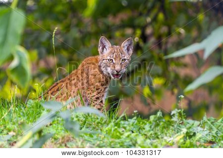 Young Lynx