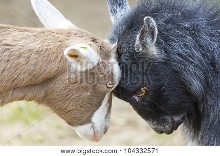 Disagreement: Goats Butting Heads.