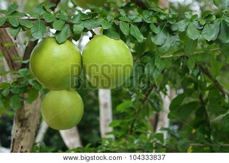 Green Calabash Tree, Wild Crescentia