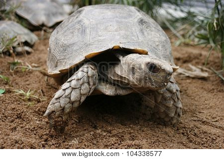 Asian Forest Tortoise (manouria Emys), Also Known As Asian Brown Tortoise, Is A Species Of Tortoise