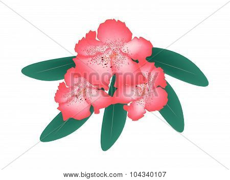 Red Rhododendron With Green Leaves On White Background