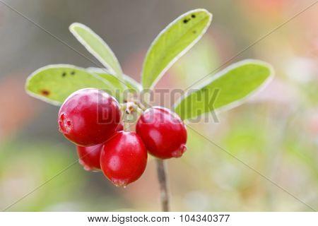 Closeup Of A Branch Of Lingon Berriy
