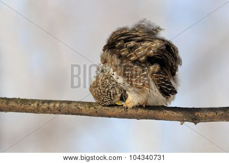 Pygmy Owl Beak Processing