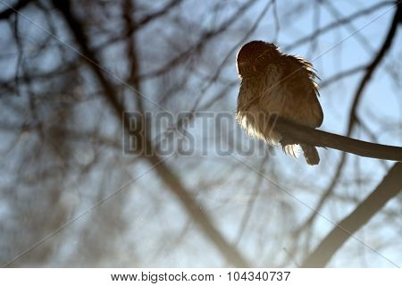 Pygmy Owl Against Sun Light