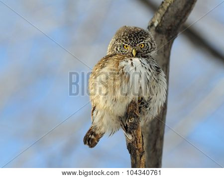 Front View Of Perching Pygmy Owl