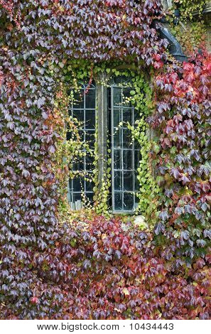 Autumn Creeper Around Window