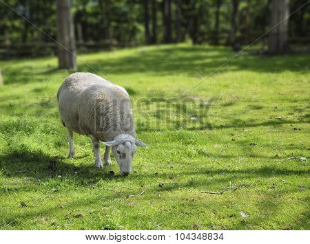 Sheep on the lawn