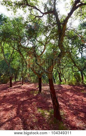 Castellon alcornocal in Sierra Espadan cork tree forest in Valencian Community of Spain