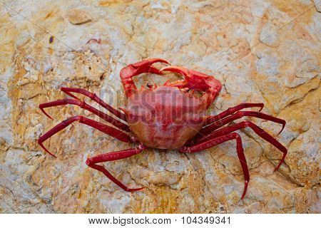 Geryon longipes is a Mediterranean crab red color