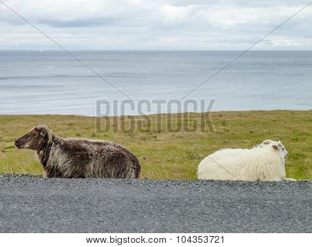 Icelandic Sheep In Iceland