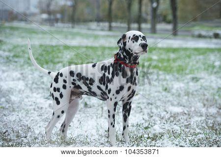 Dalmatian First Snow