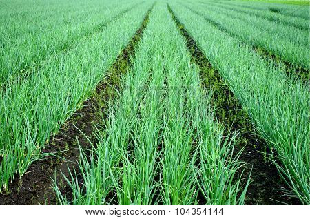 Rows Of Onions On The Field