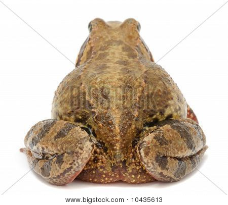 Toad (Back View)