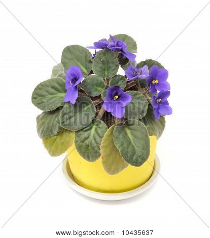 Beautiful Violet Flower in Pot