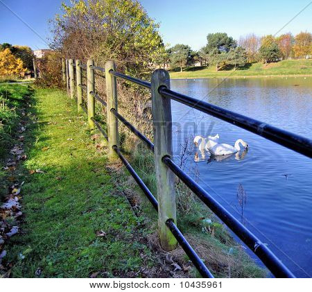 Fenced Swans