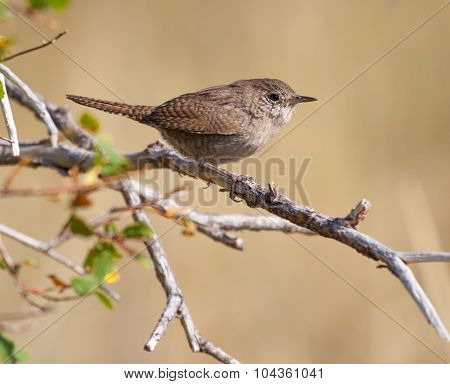 House Wren Perched On A Branch