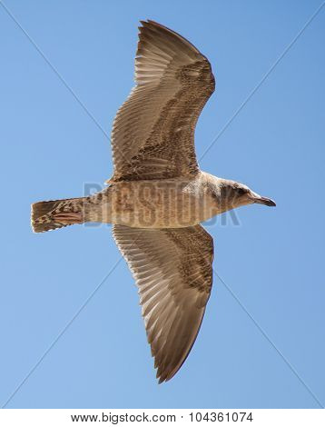 Immature California Gull Flying