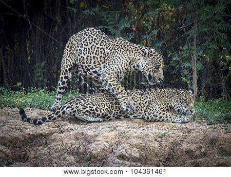 Jaguars ready to Mate