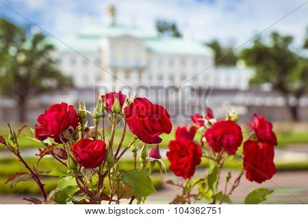 Flowers red rose. Grand Menshikov Palace in Oranienbaum