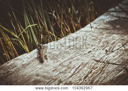 The lizard climbed on a wooden bench