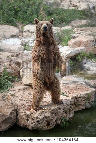 Standing Sirian Brown Bear
