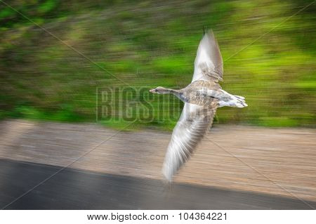 Greylag Goose In Fast Flying Speed