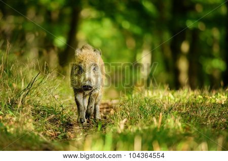 Wild Boar In Colorfull Forest
