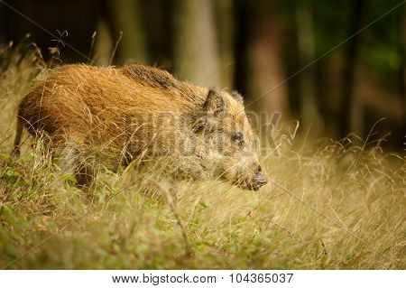 Wild Boar In Long Yellow Grass