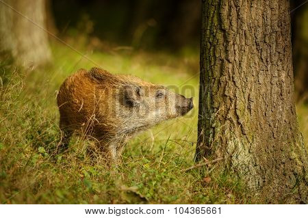 Wild Boar Baby Sniffing To The Tree Trunk