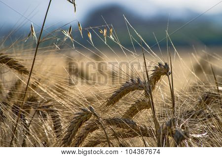 Fields And Golden Ears Of Ripe Wheat