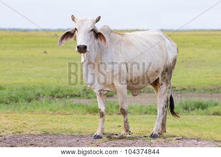 Full Body Of Domestic Male Cow In Livestock Farm Thailand