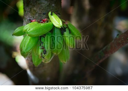Kamias Fruit Clinging To A Tree In Southeast Asia
