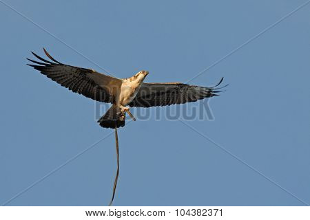 Flying Osprey With Cable