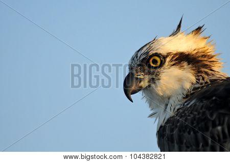 Profile Portrait Of Osprey