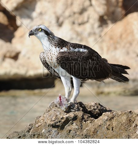 Osprey With The Prey On The Stone