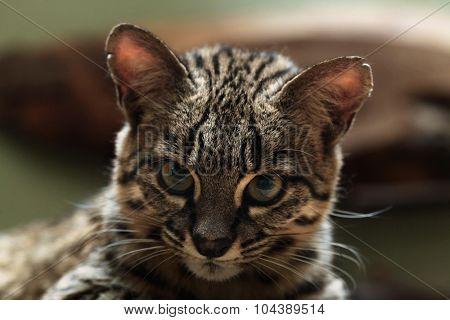 Geoffroy's cat (Leopardus geoffroyi). Wild life animal.