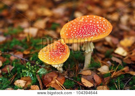 Two Poisonous Mushrooms