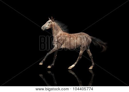 A beautiful gray horse galloping unusual suit. Isolated on a black background.