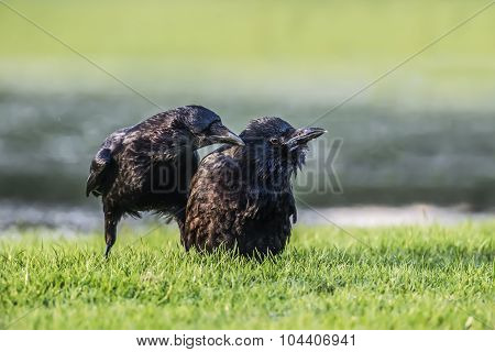 A pair of Crows Corvus corone on frosty ground