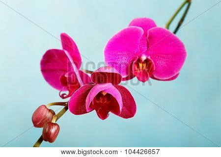 Purple Orchid On A Blue Background Close-up