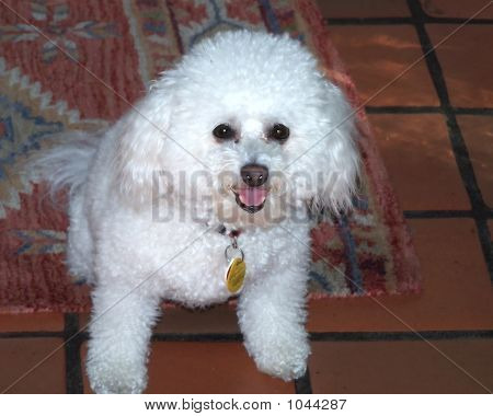 Chloe The Bichon