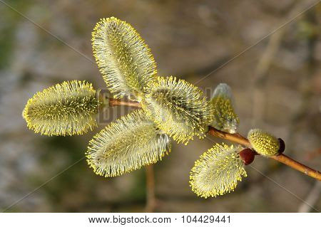 A Sprig Of Willow With Catkins